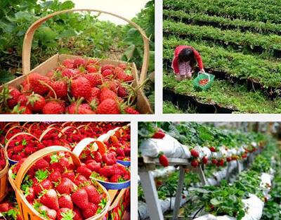 Kebun-Strawberry-Ciwidey